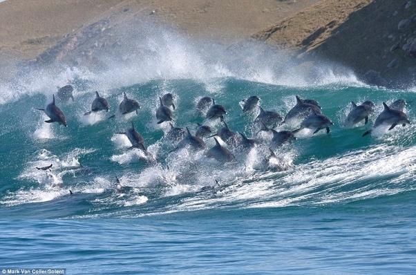 un large groupe de dauphins en train de surfer une vague de l'océan